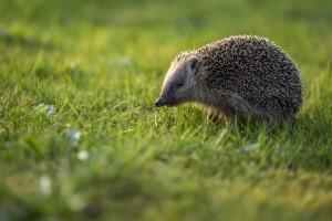 Kleine Tiere stellen ein besonderes Risiko da -wenn Sie übervorsichtig auf diese mit einer Vollbremsung reagieren, um einen Wildunfall zu verhindern.